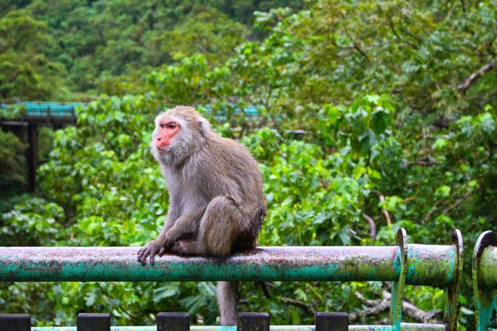 Monkey near Taitung