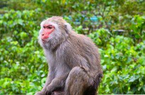 Formosan Macaque in Taroko Gorge
