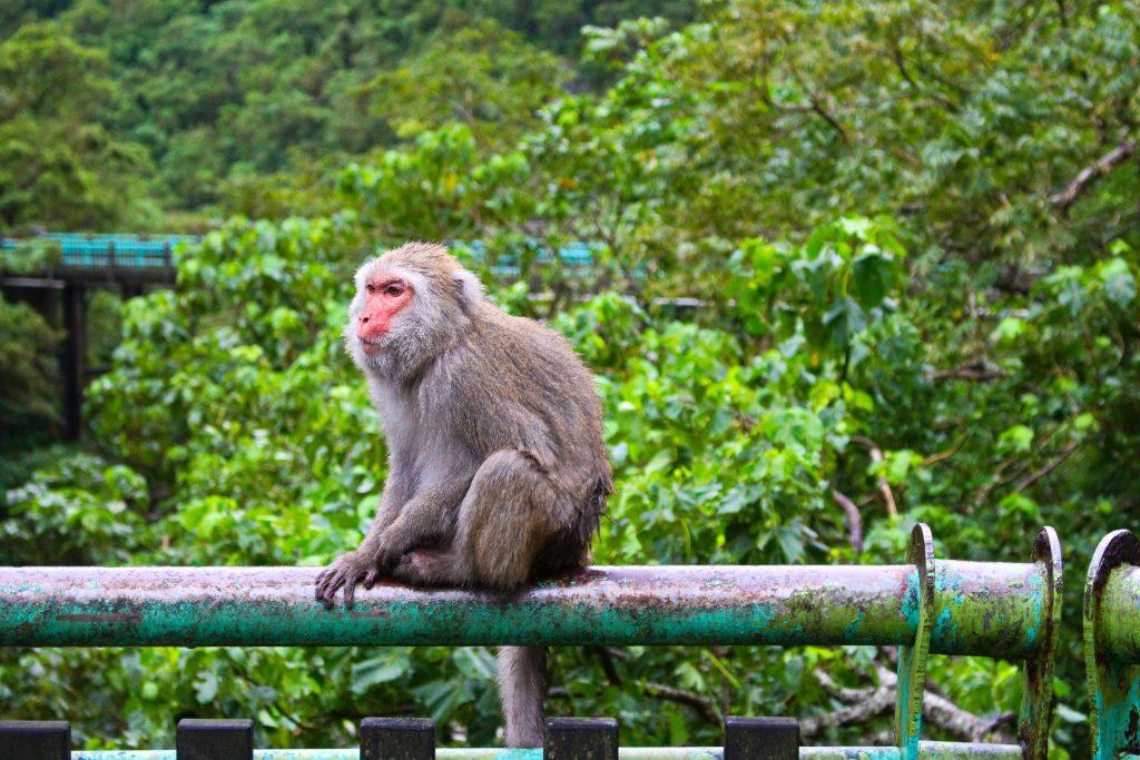 Formosan Macaque, Taroko Gorge National Park Tour, Taroko Gorge Tour