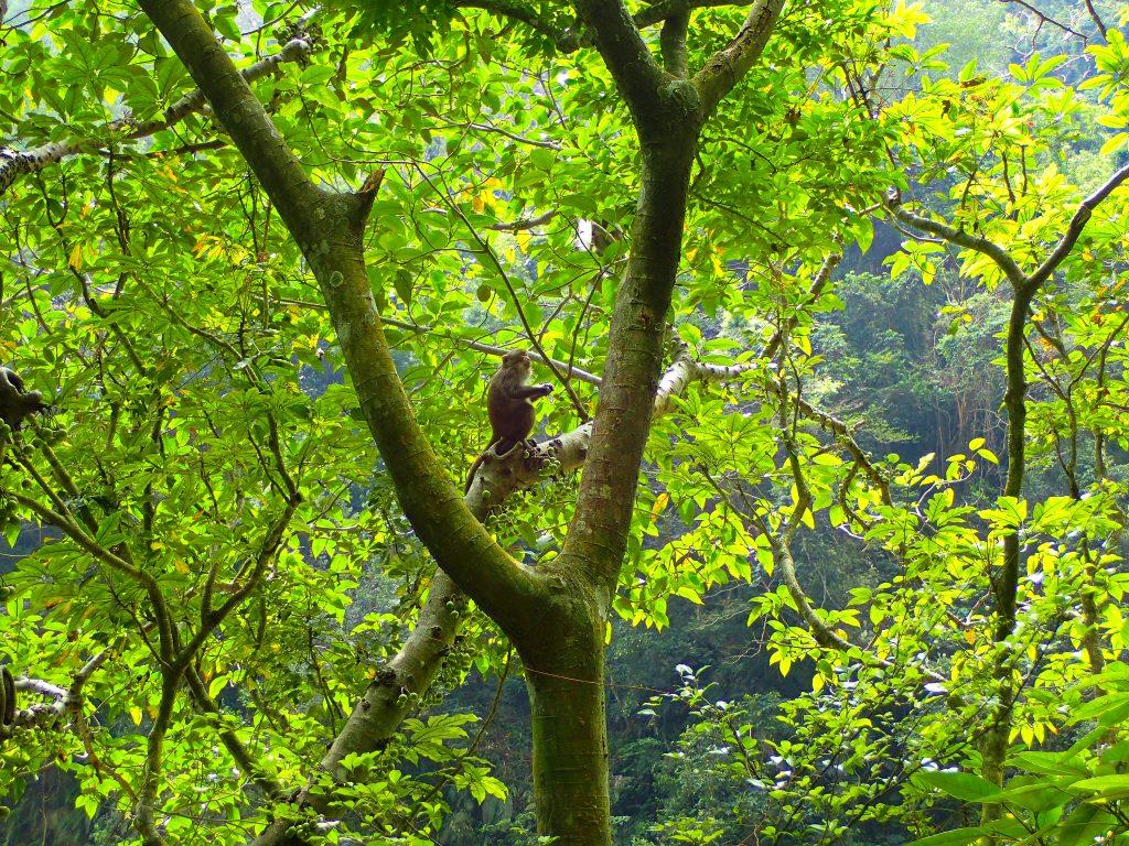 Formosan Macaque, Taroko Gorge National Park